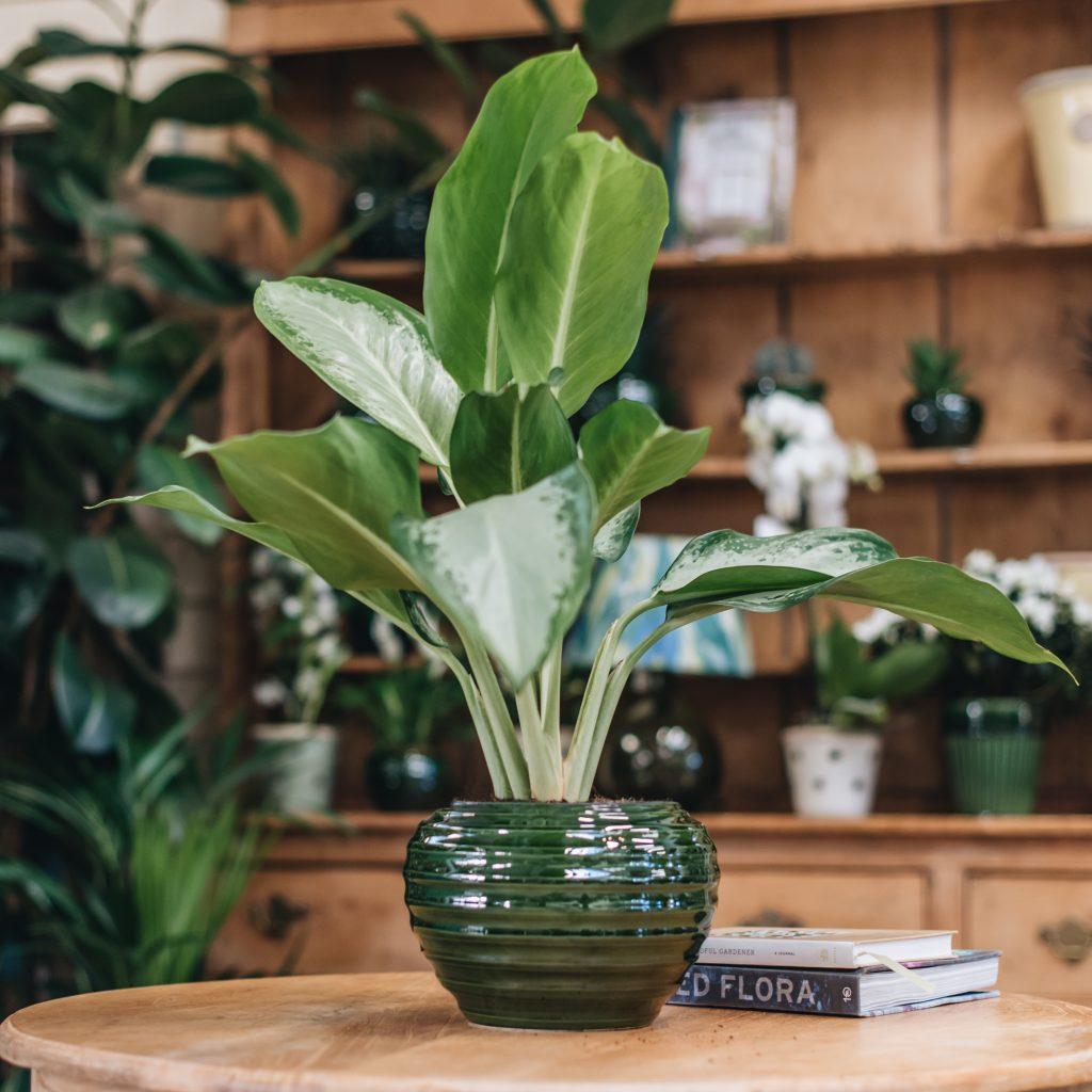 گیاه آگلونما در گلدان یشمی روی یک میز چوبی در کنار دو کتاب در یک اتاق با قفسه های چوبی که در قفسه ها نیز گلدان های زیادی وجود دارد.