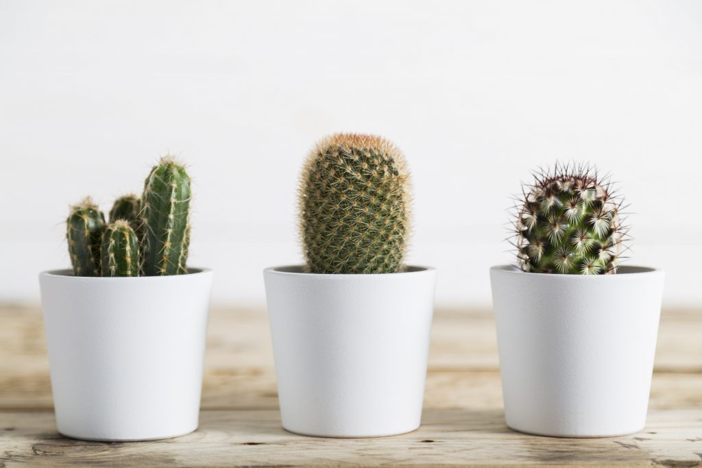 تصویر سه کاکتوس کوچک در گلدان های سفید بر روی یک میز چوبی.