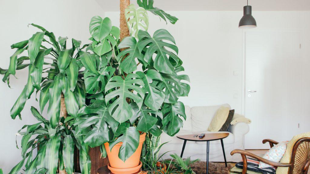 گیاه برگ انجیری بزرگی که در یک نشیمن با مبل های راحتی سفید بر روی یک میز کوچک واقع شده است.