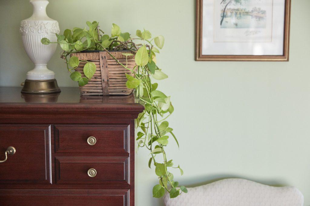 گیاه پوتوس که بر روی یک میز قرار دارد و برگ های آن آویزان شده است. در سمت راست یک صندلی و یک قاب عکس به دیوار است.