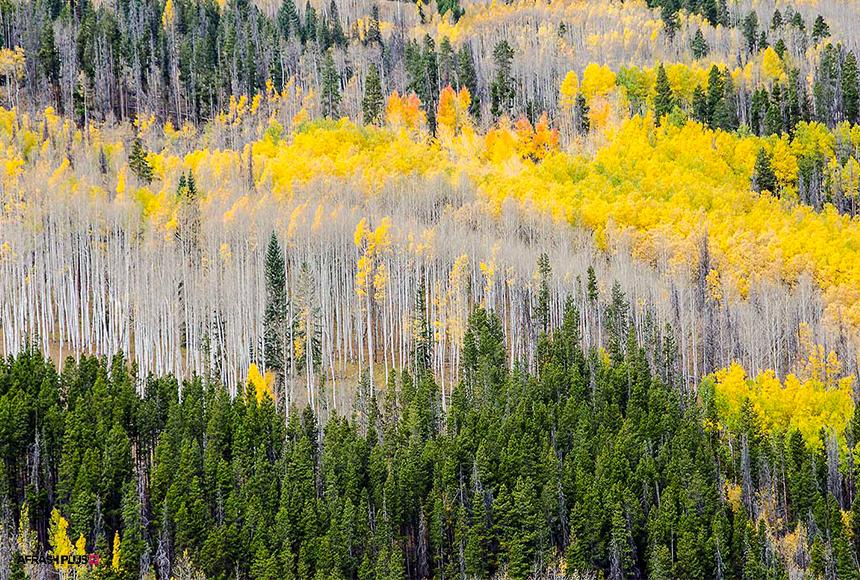 جنگل های همیشه سبز با درختان سوزنی برگ